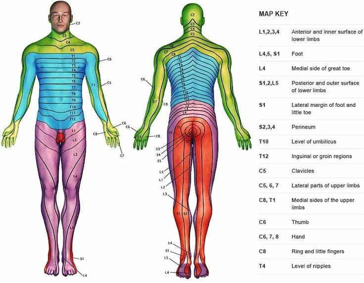 Chiropractic Richmond VA Dermatome Map